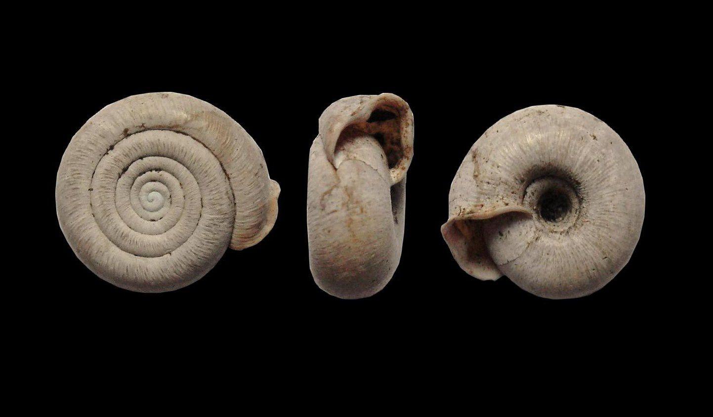 Album consacré aux Gastéropodes de différents étages, du Dévonien au Pléistocène.