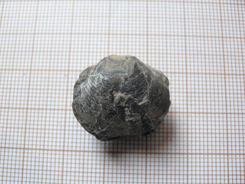 Fossile de la région de Marche-en-Famenne. Etage Dévonien supérieur (Frasnien), pour les identifications au fil du temps.