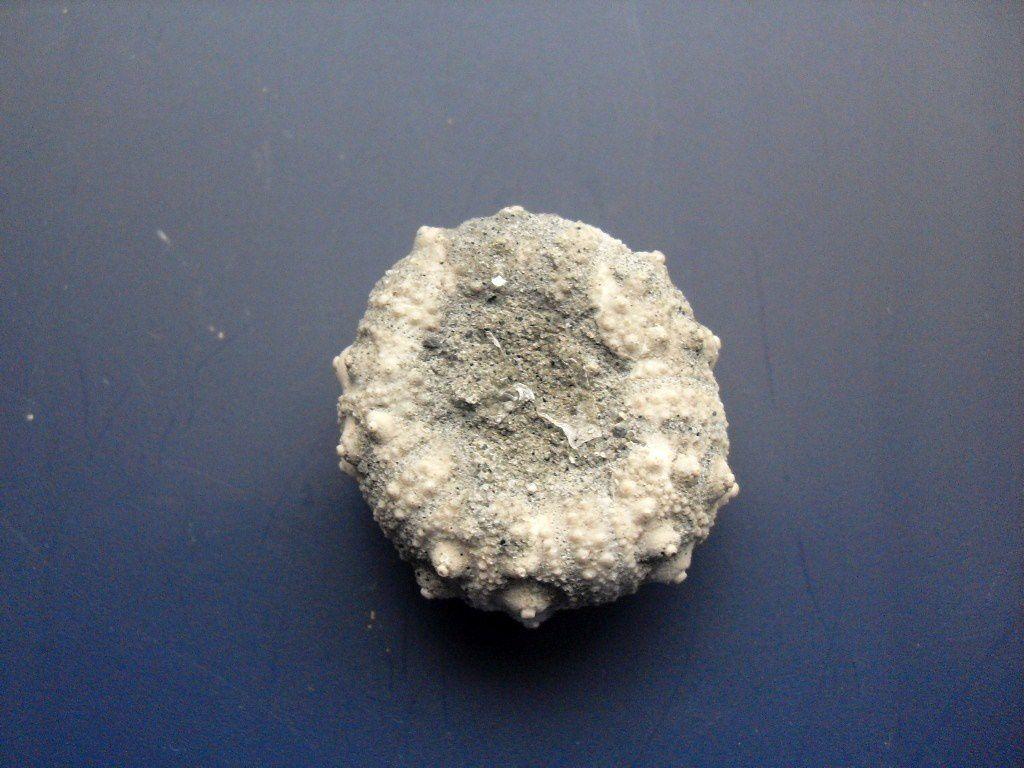 Fossiles de Wimereux. Etage Jurassique (Portlandien, Tithonien. Un site très fréquenté, par les amateurs de fossiles, superbes oursins à dénichés.
