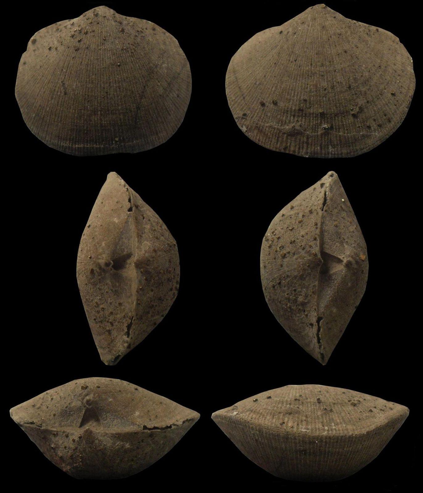 Album consacré aux Brachiopodes, du Dévonien,Carbonifère,Jurassique et Crétacé pour la plupart. Fossiles que j'apprécie de plus en plus.
