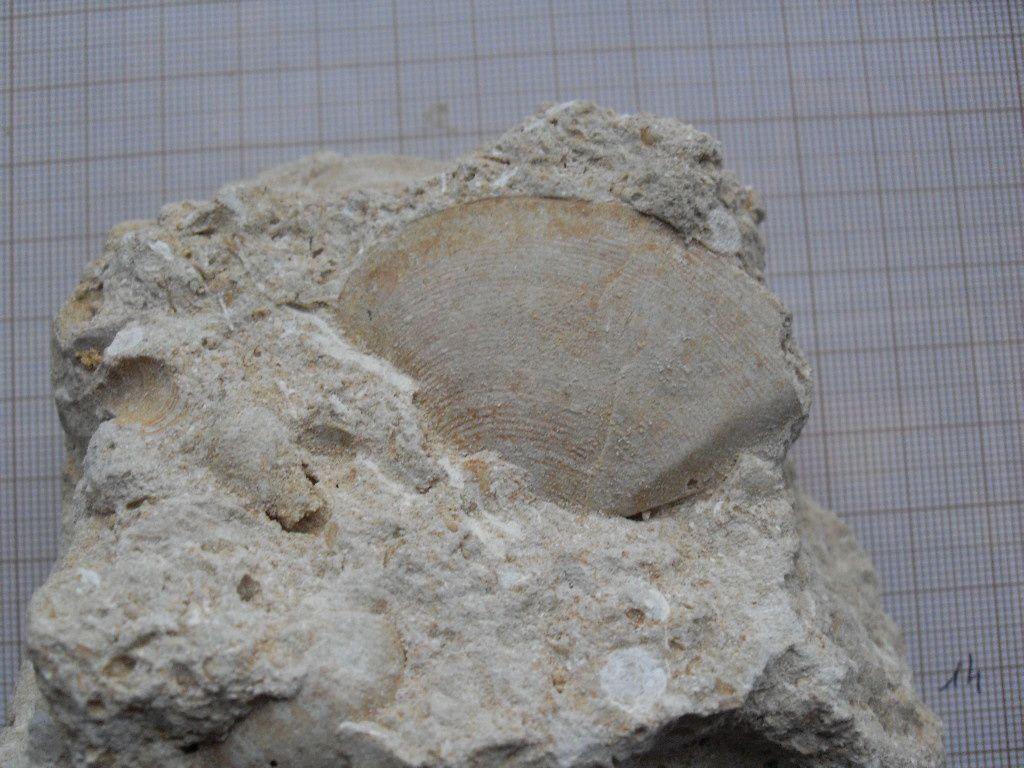 Fossiles de la carrière de Grandrû. Étage, Éocène ( Lutétien).