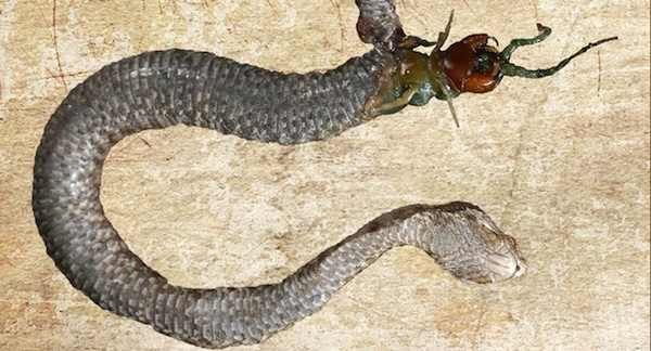 serpent-contre-mille-pattes.jpg