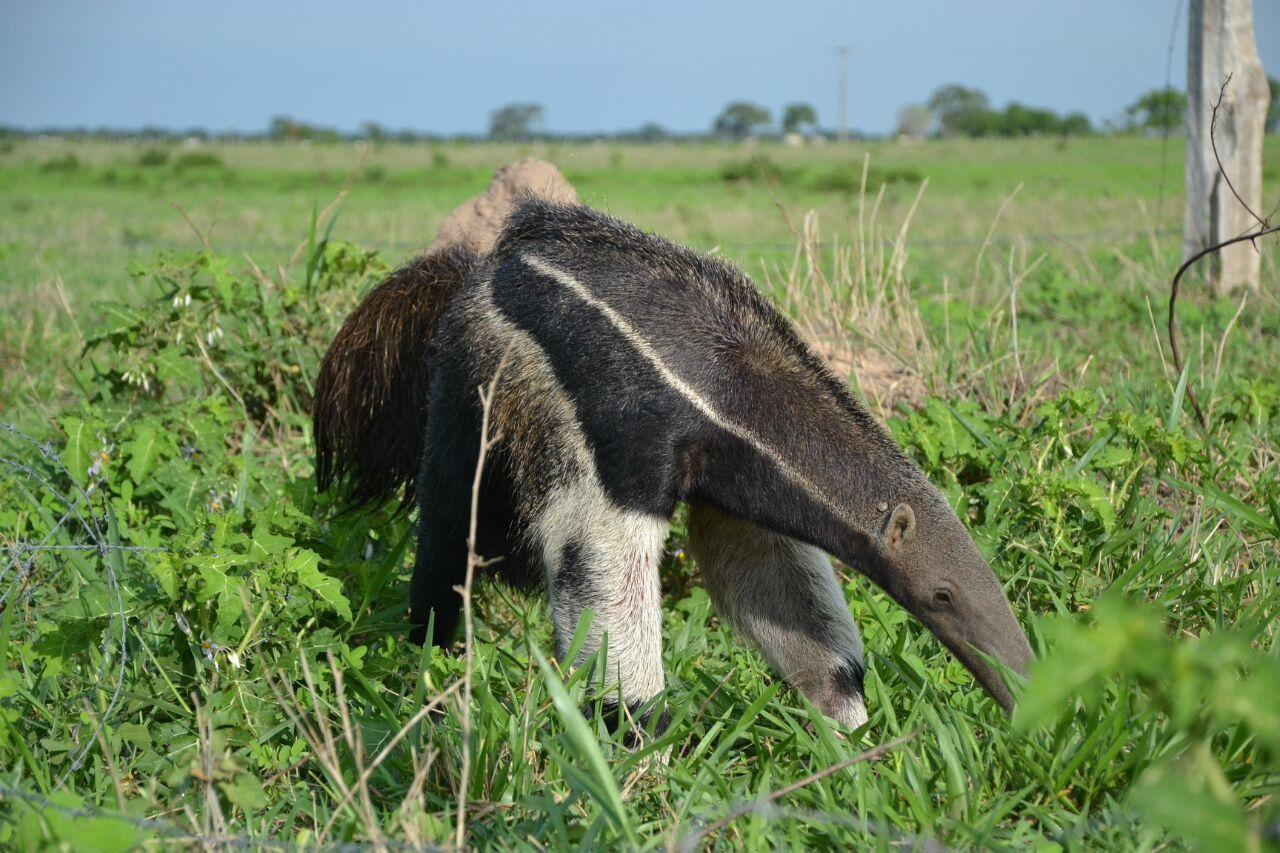 Album - 85 - Pantanal adventures