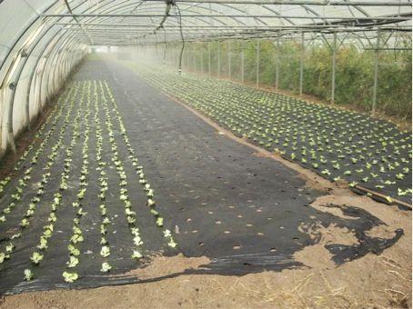 plantation de batavias a l'arrosage, recolte prévue en decembre