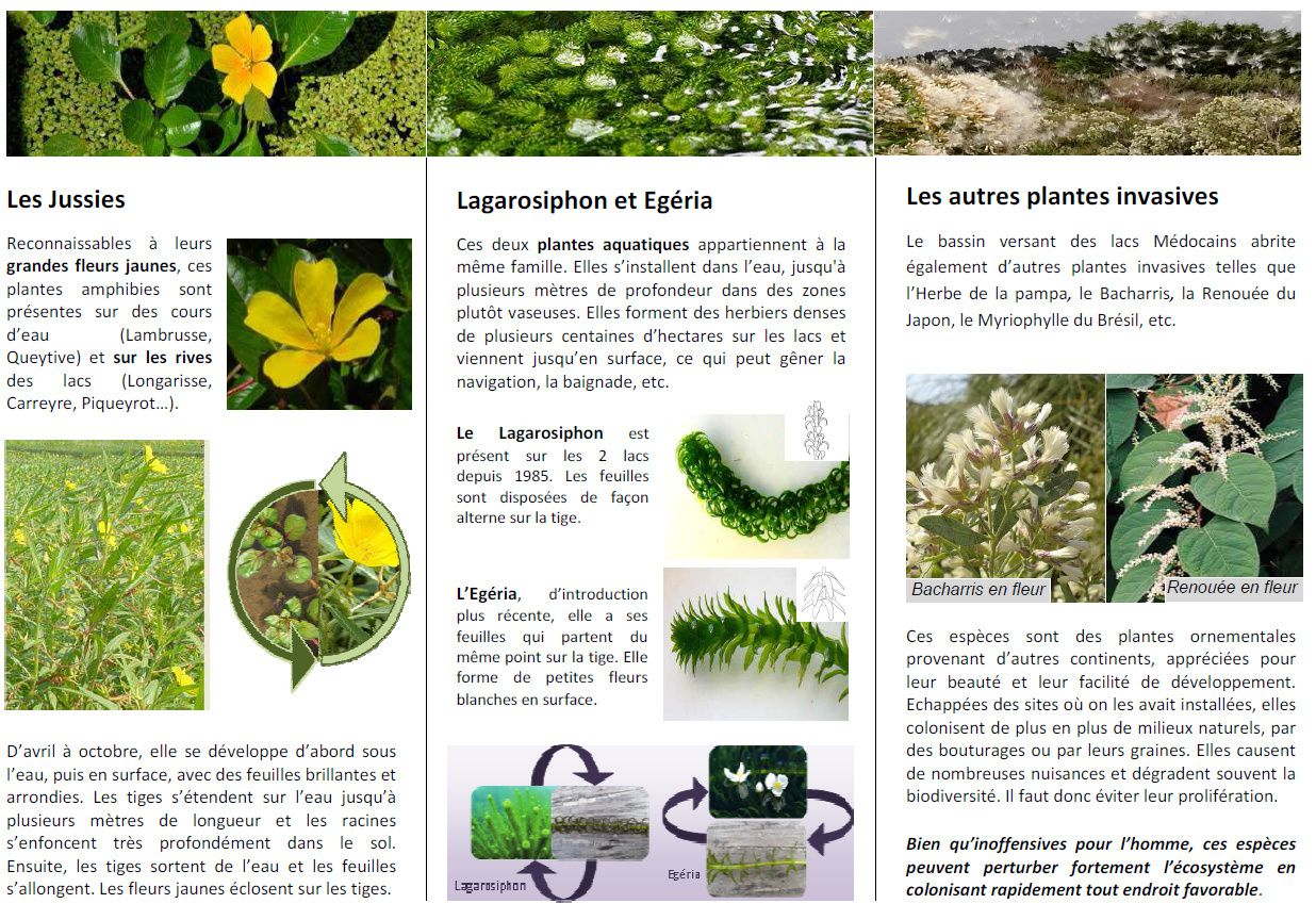 Luttons contre les plantes invasives des lacs m docains for Catalogue plantes