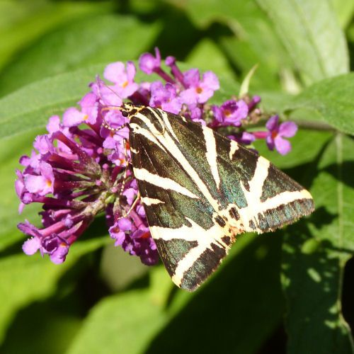 papillon écaille chinée - recto