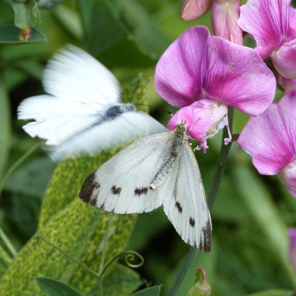 papillon-pieride-blanche.jpg