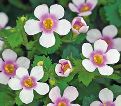 bacopa pink ring