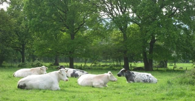 VACHES RELAX