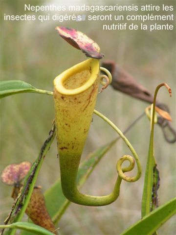 CD07-02PICT09FortDauphinNepenthes