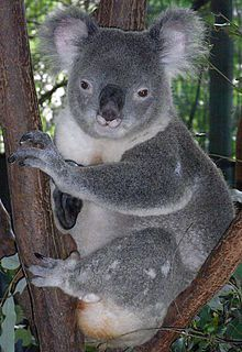 220px-Friendly_Male_Koala.JPG