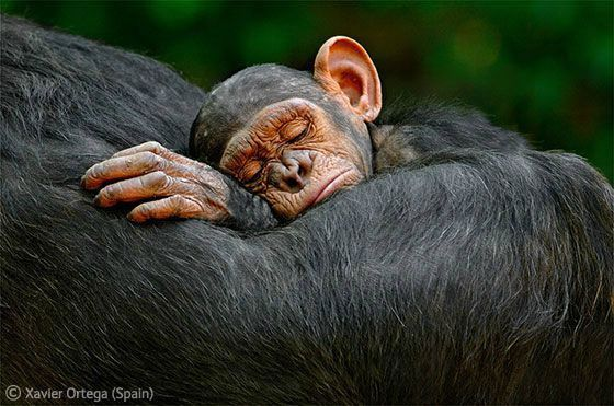 WPY chimpanzees