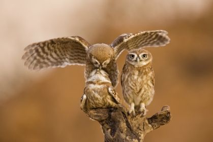wildlife_owls