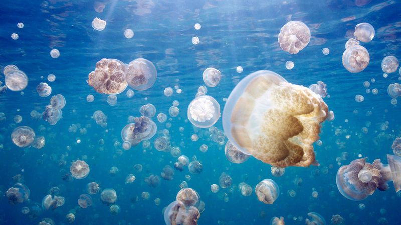 great_migrations_jellyfish