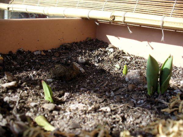 tulipes2010a