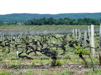 Vignes de Vignelaure, par Stéphane Riss