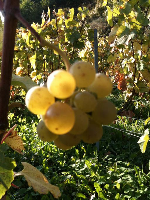Chardonnay oublie2