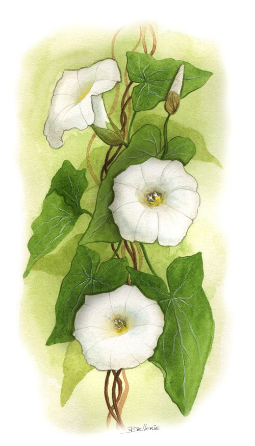 4. Illustrations botaniques