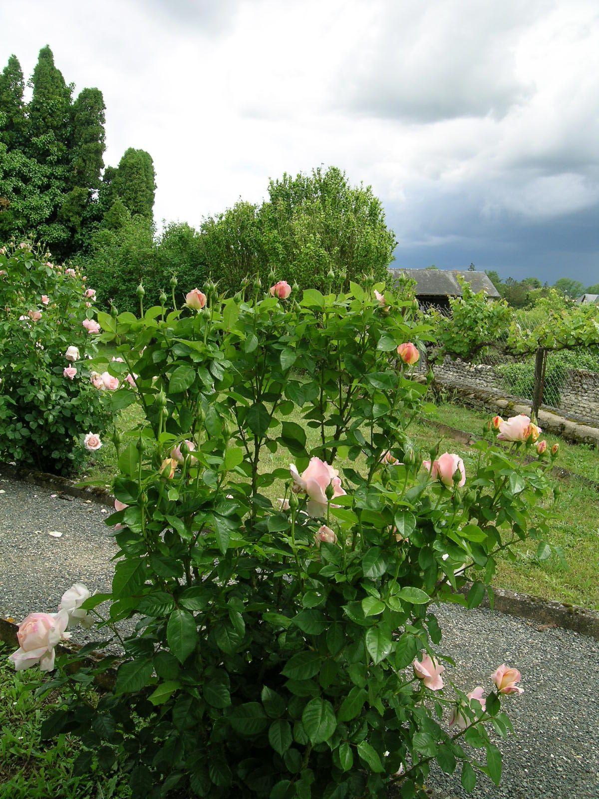 Album - Roses-sous-Ciel-d-Orage--.