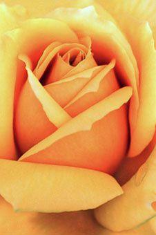 UNE-ROSE.jpg