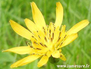 FleurJaune1