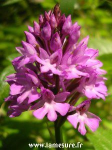 Orchis300lm
