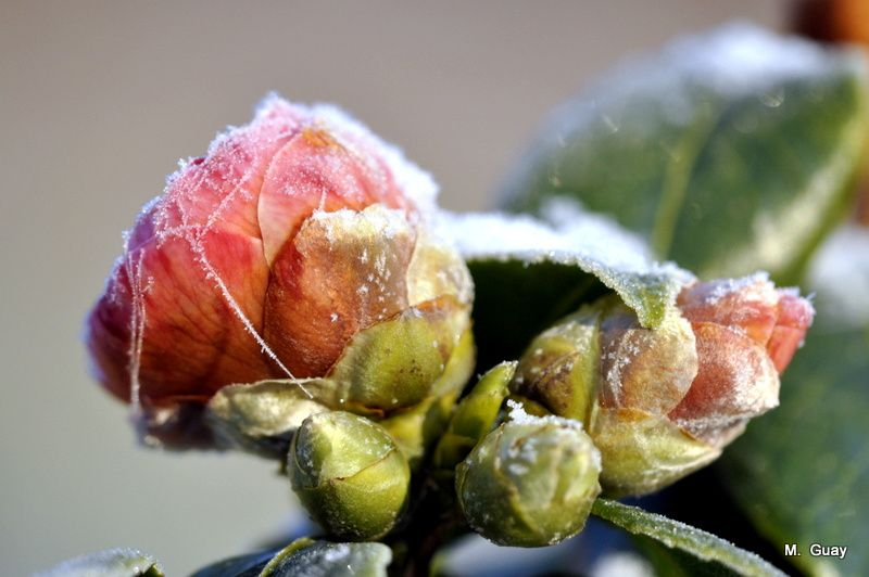 camelia-froid-0011.JPG