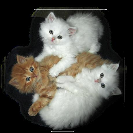 chats-blancs-et-chats-roux.png