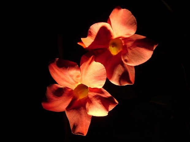 fleur nuit f
