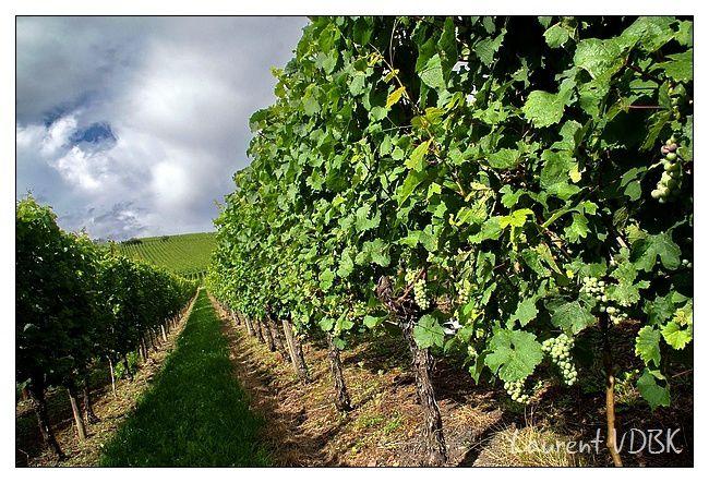 Alsace - Raisin - Vignoble alsacien