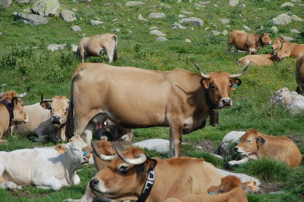 vaches des pyreneen