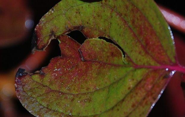 feuille-rouge-oct11d.JPG