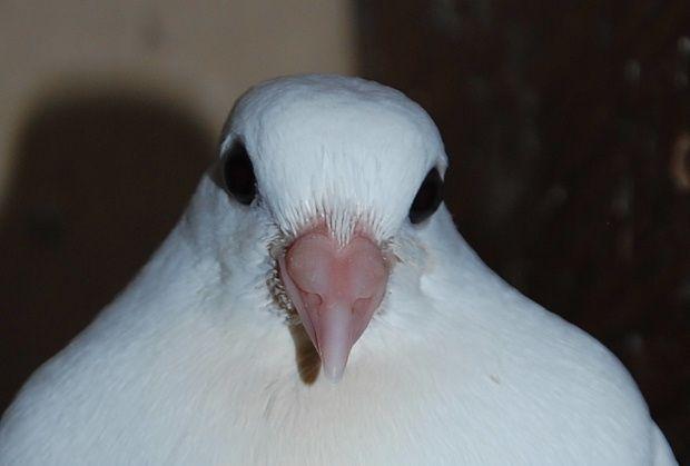 pigeonspetx.JPG