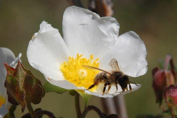 abeille-et-fleur-b.JPG