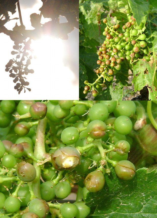 grele 15 juin grappes vigne c