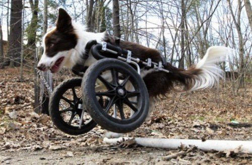 13rooselvelt-disabled-border-collie-wakes-up-happy-every-d.jpeg