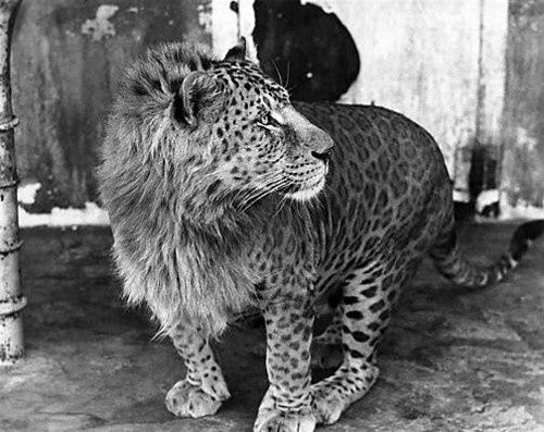 leopon-johnny-is-part-lioness-and-part-leopard.jpeg