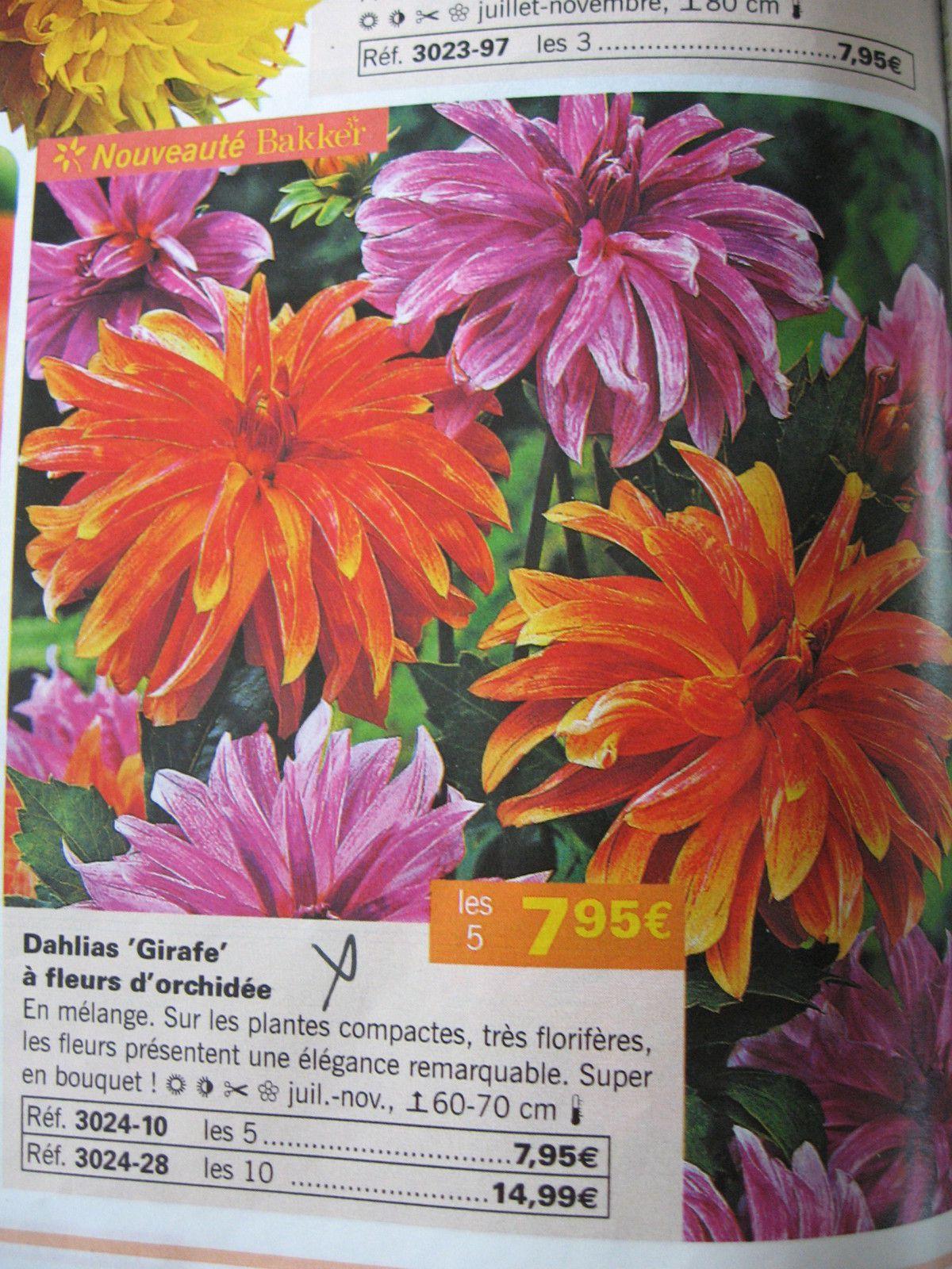 """Melange Orange Et Rose dahlias 'girafe' coloris orange et rose - la """"maison"""