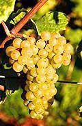 pinot-blcjpg2_edited-copie-1.jpg