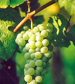 riesling2_edited-copie-1.jpg