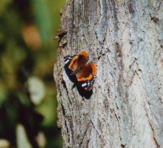 Papillons/chrono487_1