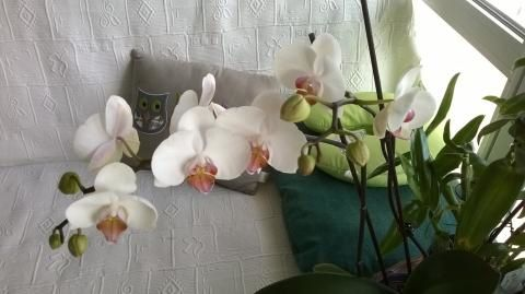 orchidee-pour-coconner.jpg