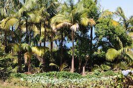 plantation de palmistes