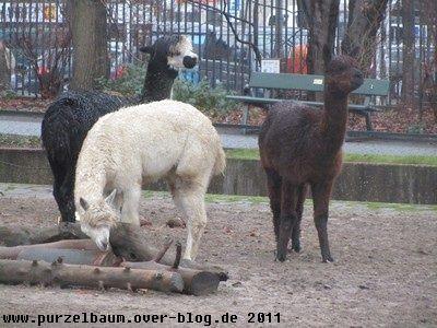 Alpakas20111230 023