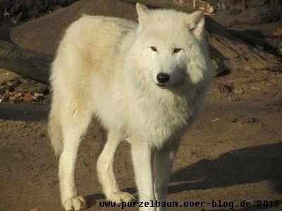 Polarwolf20121123 006