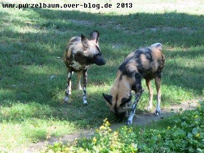 Wildhunde20130826 009