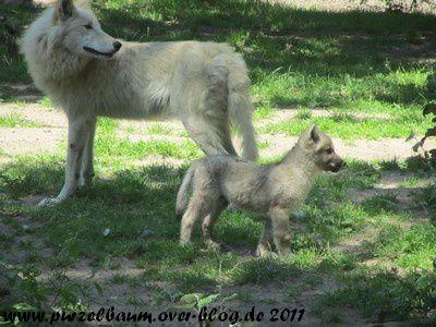 Polarwölfe20110627 011