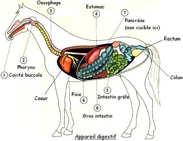 Organes-cheval-vue-gauche.jpg