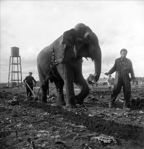 elephant-labour- Piccolo 1941 Blois