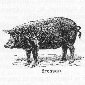 porc-bressan-mini